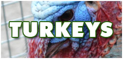 link-turkeys
